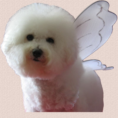 Bianca donning angel wings for Iris... for Bichons are ::ANGELS IN WAITING::